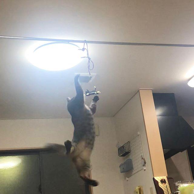 ヒモが好きな我が家の猫二号。すげージャンプだ!#ぬこ#ネコ#ジャンプ#譲渡会#保護#ヒモが好き